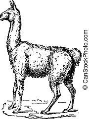 Lama, vintage engraving - Lama, vintage engraved...