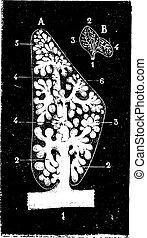 Pulmonary lobule, vintage engraving.