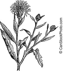 Knapweed or Centaurea, vintage engraving. - Knapweed or...
