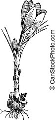 Saffron isolated on white, vintage engraving. - Saffron...