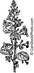 Lemon Balm or Melissa officinalis, vintage engraving