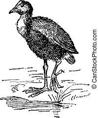 Moorhen or Gallinula sp., vintage engraving - Moorhen or...