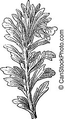 Ajuga or Bugleweed, vintage engraving - Ajuga or Bugleweed...