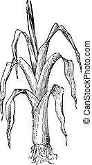 Leek, vintage engraving - Leek, vintage engraved...