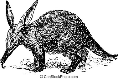 Aardvark or African antbear, vintage engraving. - Aardvark...