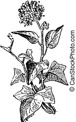 Ivy or Hedera sp., vintage engraving