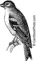 Finch, vintage engraving. - Finch, vintage engraved...
