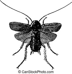 Fig 83 Cockroach, vintage engraving - Fig 83 Cockroach,...
