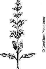 Sage or Salvia, vintage engraving. - Sage or Salvia, vintage...
