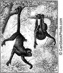 Spider Monkey or Ateles sp., vintage engraving