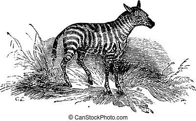 Young Zebra, vintage engraving. - Young Zebra in forest,...