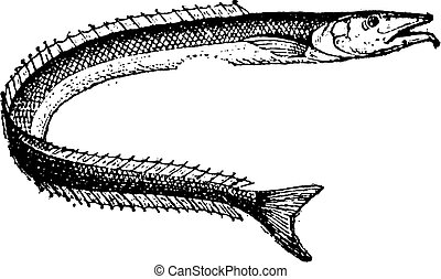 Lancetfish or Alepisaurus sp, vintage engraving - Lancetfish...