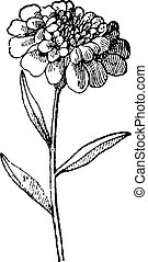 Candytuft or Iberis umbellata, vintage engraving - Candytuft...