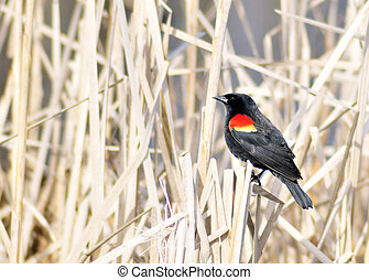 Red-winged Blackbird - A red-winged blackbird perched on a...