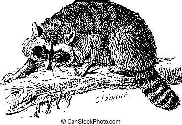 Raccoon or Common Raccoon, vintage engraving. - Raccoon or...