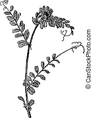 Common Vetch or Vicia sativa, vintage engraving - Common...