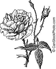 Rose of Bengal, vintage engraving.