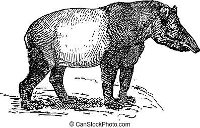 Tapir vintage engraving - Old engraved illustration of Tapir...