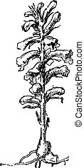 Broomrape or broom-rape, vintage engraving - Broomrape or...