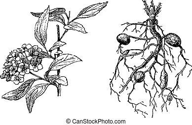 Spirea Lanceolate, Dropwort Meadowsweet, vintage engraving....