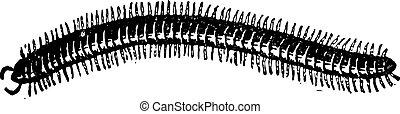 Centipede, vintage engraving.