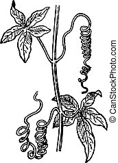 Tendrils, a Passionflower, vintage engraving.