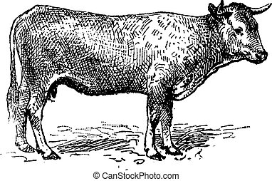 Garonne cattle, vintage engraving. - Garonne cattle, vintage...