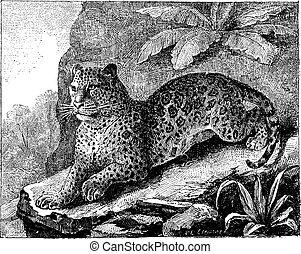 Jaguar, vintage engraving - Jaguar, vintage engraved...