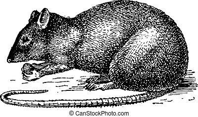 Rat isolated on white background, vintage engraving.