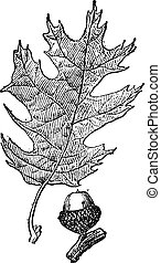 Black oak or Quercus velutina vintage engraving - Old...