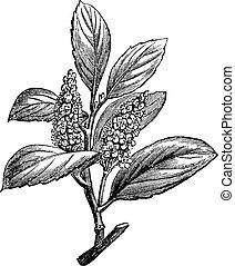 Cherry Laurel or Prunus laurocerasus, vintage engraving -...