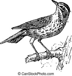 Redwing or Turdus iliacus, vintage engraving - Redwing or...