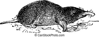 Common Mole or Eastern Mole or Scalopus aquaticus, vintage...