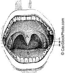 boca, (inside, de, el, cavidad, vendimia, engraving.,