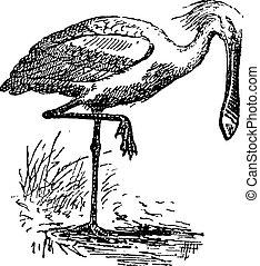 Spoonbill, vintage engraving. - Spoonbill, vintage engraved...