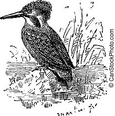 Common Kingfisher or Alcedo atthis, vintage engraving -...
