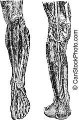 Human Leg, vintage engraving - Human Leg, showing deep...