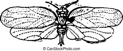 Psyllids or jumping plant lice, vintage engraving. -...