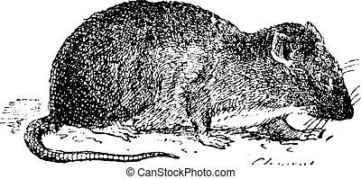Brown rat or Sewer rat, vintage engraving - Brown rat or...