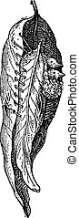 Nest of the Tailor Warbler or Sylvia sutoria, vintage engraving
