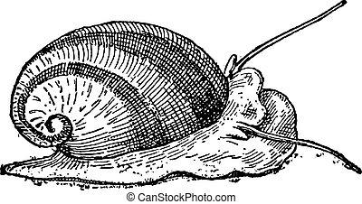 Nerite or Neritidae, vintage engraving - Nerite or...