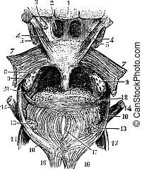 Transverse portion of the tongue, the back of the throat, vintage engraving.