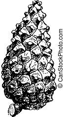 Fig 16 Pine, vintage engraving - Fig 16 Pine, vintage...