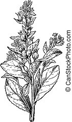 Lobelia swollen or Asthma weed, vintage engraving. - Lobelia...