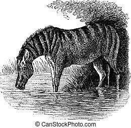 Donkey or Equus asinus vintage engraving - Donkey or Equus...