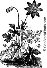 Anemone hortensis or Fior di Stella flower vintage engraving...