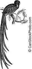 Resplendent Quetzal or Pharomachrus mocinno vintage...