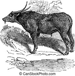 Water buffalo or Bubalus bubalis, buffalo, Indian, vintage...