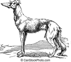 Persian Greyhound vintage engraving