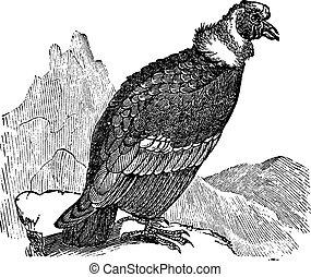 andino, condor, o, Vultur, gryphus, vendemmia, incisione,